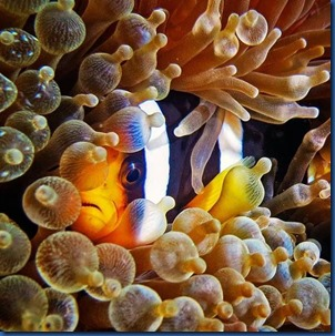 Clown fish 6