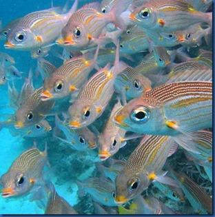 Fish - Gold Spot Emperor