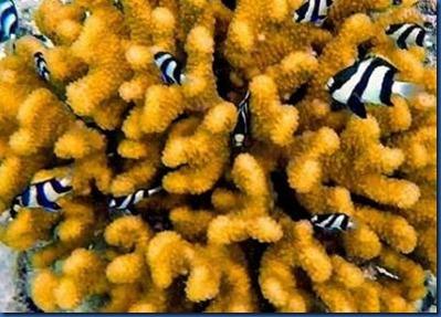 Fish - Humbug Damsel Fish