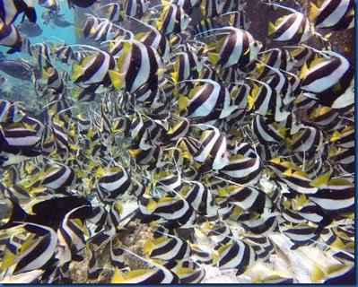 Fish - Moorish Idol