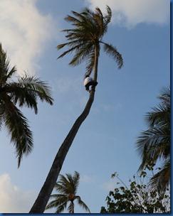 Fushifaru - coconut climbing 1