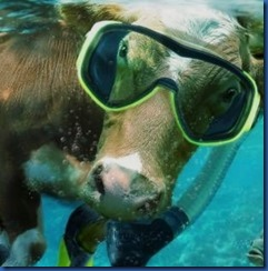 Cow snorkel