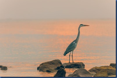 LUX North Male Atoll - heron