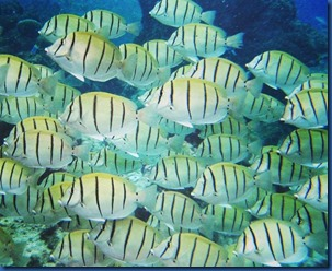 Maldives - Convict Tangs
